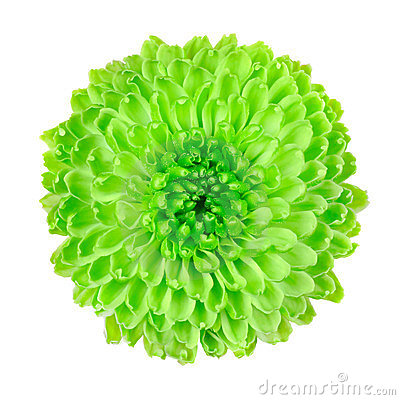 Free Lime Green Pom Pom Flower Isolated On White Royalty Free Stock Image - 23641846