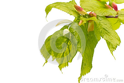 Lime leaves of the tree. Stock Photo