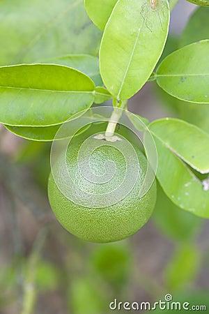 Free Lime On Tree Stock Image - 22671961
