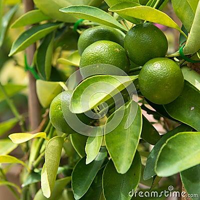 Free Lime On Tree Stock Image - 33401681