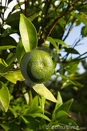 Free Lime Tree Stock Images - 4297384