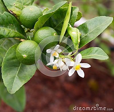 Free Lime Tree Royalty Free Stock Photos - 52819158