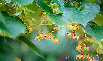 Lime-tree Blossoms Stock Image - Image: 22804791