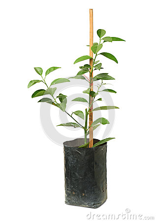 Free Lime Tree In Bag Royalty Free Stock Photos - 31686378