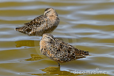 Limnodromus scolopaceus, long-billed dowitcher