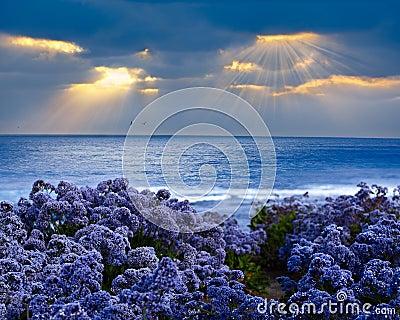 Limonium perezii Lilac Statice Sea Lavender