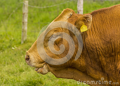 A Limousin Bull