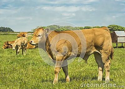 Limousin Bullock