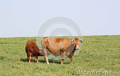 Limousin calf suckling