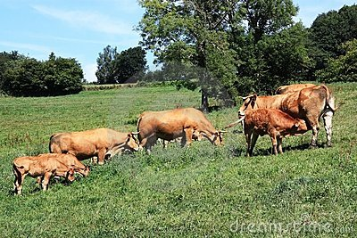 Limousin cows and calves