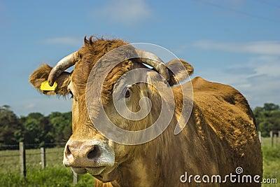 Limousin krowa
