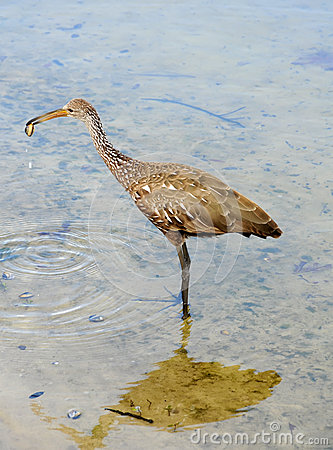 Limpkin in a lake