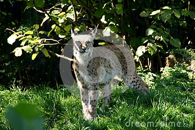 Lince 3