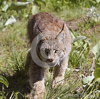 Lince canadese
