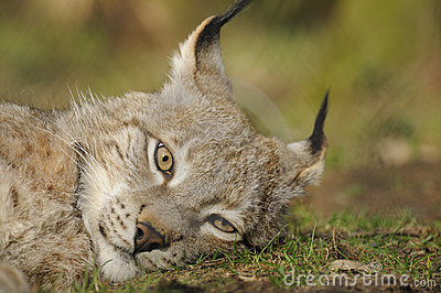Lince eurasiático (lince del lince)