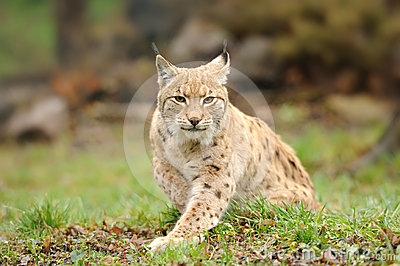 Lince giovane