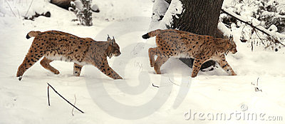 Lince in inverno