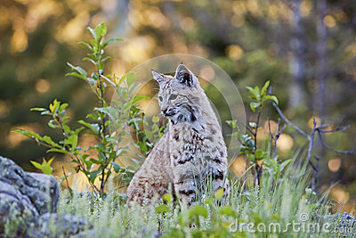 Lince joven en bosque occidental