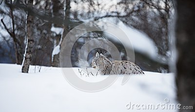 Lince que coloca na neve
