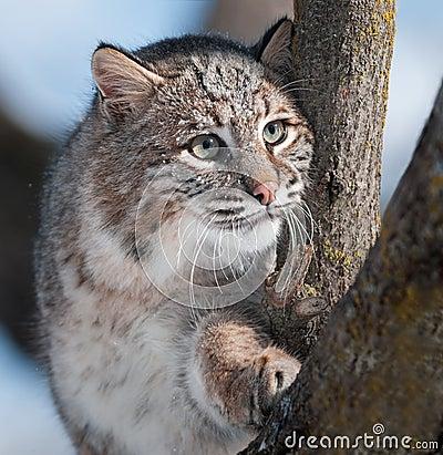 Lince (rufus del lince) en árbol