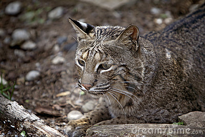 Lince selvagem Rufus do lince