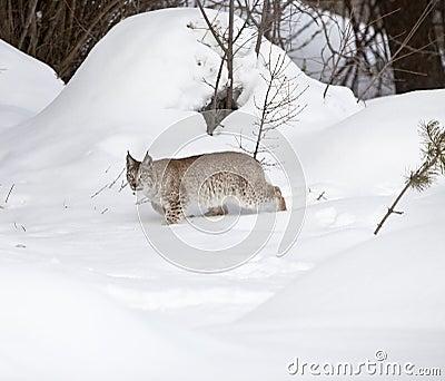 Lince Siberian que anda lentamente na neve