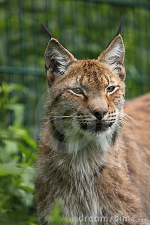 Lince siberiano