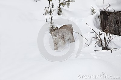 Lince siberiano en nieve