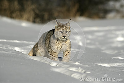 Lince siberiano, lynx lynx
