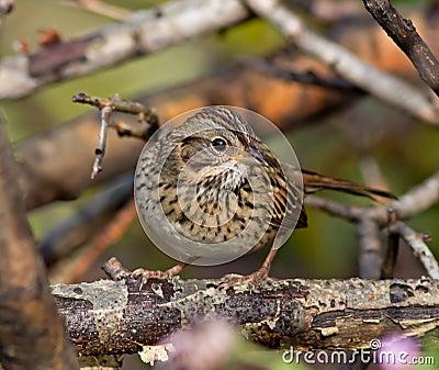 Lincoln s Sparrow