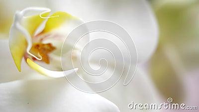 Linda pilha de orquídea Uma bela flor branca é muito próxima Flora da casa, florescência da orquídea Bonita video estoque
