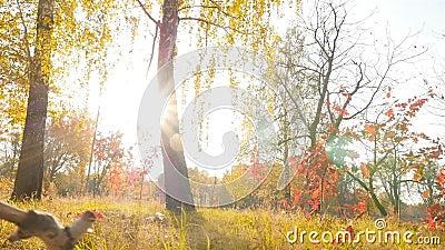 Lindas árvores com folhas amarelas Brilho brilhante do sol Movimento lento video estoque