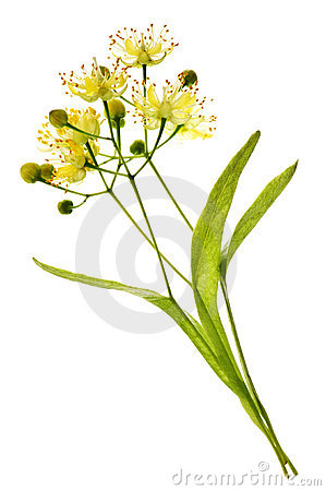 Free Linden Flower Stock Image - 10929961