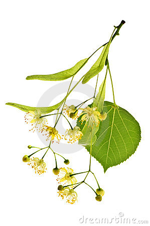 Free Linden Flower Royalty Free Stock Images - 10982649