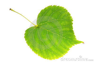 Linden leaf on isolated
