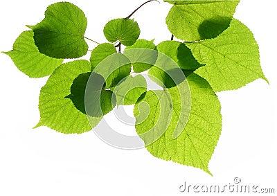 Linden (lime) leaves