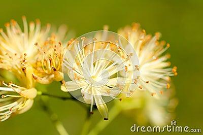 Linden pollen