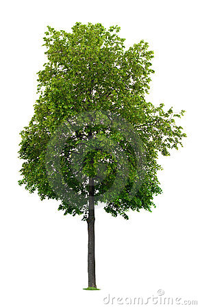 Free Linden Tree Royalty Free Stock Image - 9578666