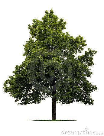 Free Linden Tree Stock Photo - 9793710