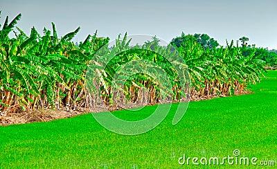 Line of banana plant