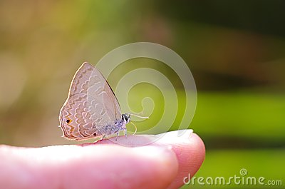 Line-blue Butterfly on the finger