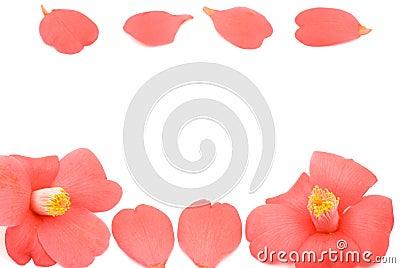 Line of camellia flower