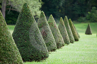 Line of cone evergreen bushes in cultivated park