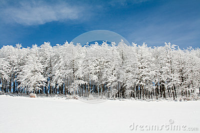 Line of Frozen trees