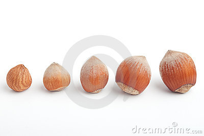 Line of hazelnuts with kernel