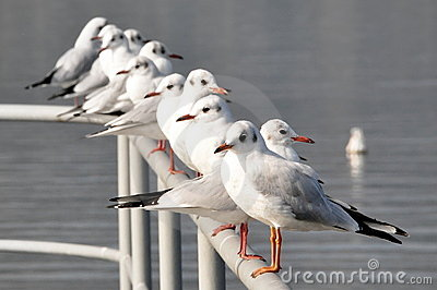 Line of seagulls