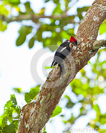 Lineated Woodpecker on tree