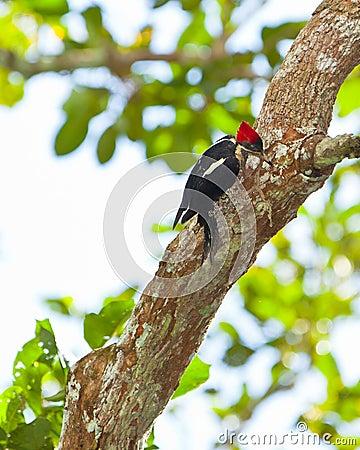 Lineated Woodpecker on tree