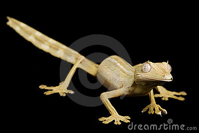 Lined Leaf Tail Gecko