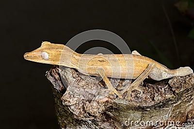 Lined leaftail gecko, marozevo